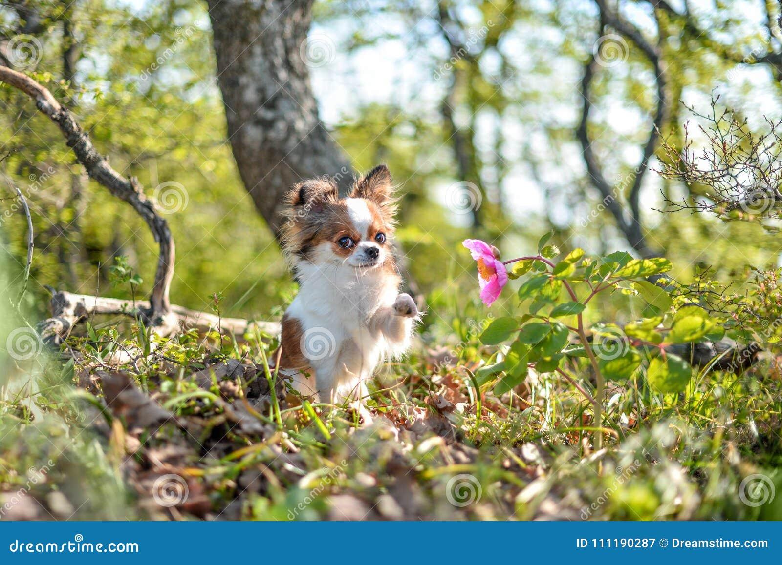 Chihuahua riechen eine Blume