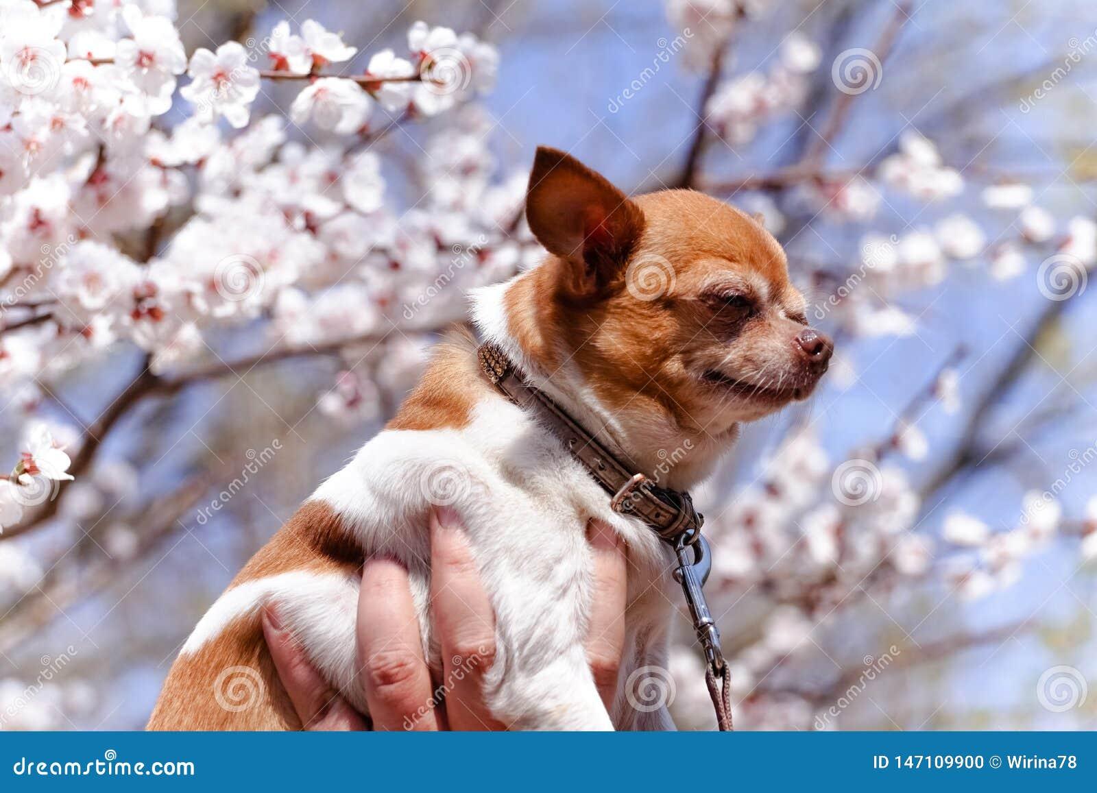 Chihuahua rodeada por Sakura floreciente Peque?o perro adorable en fondo de la flor