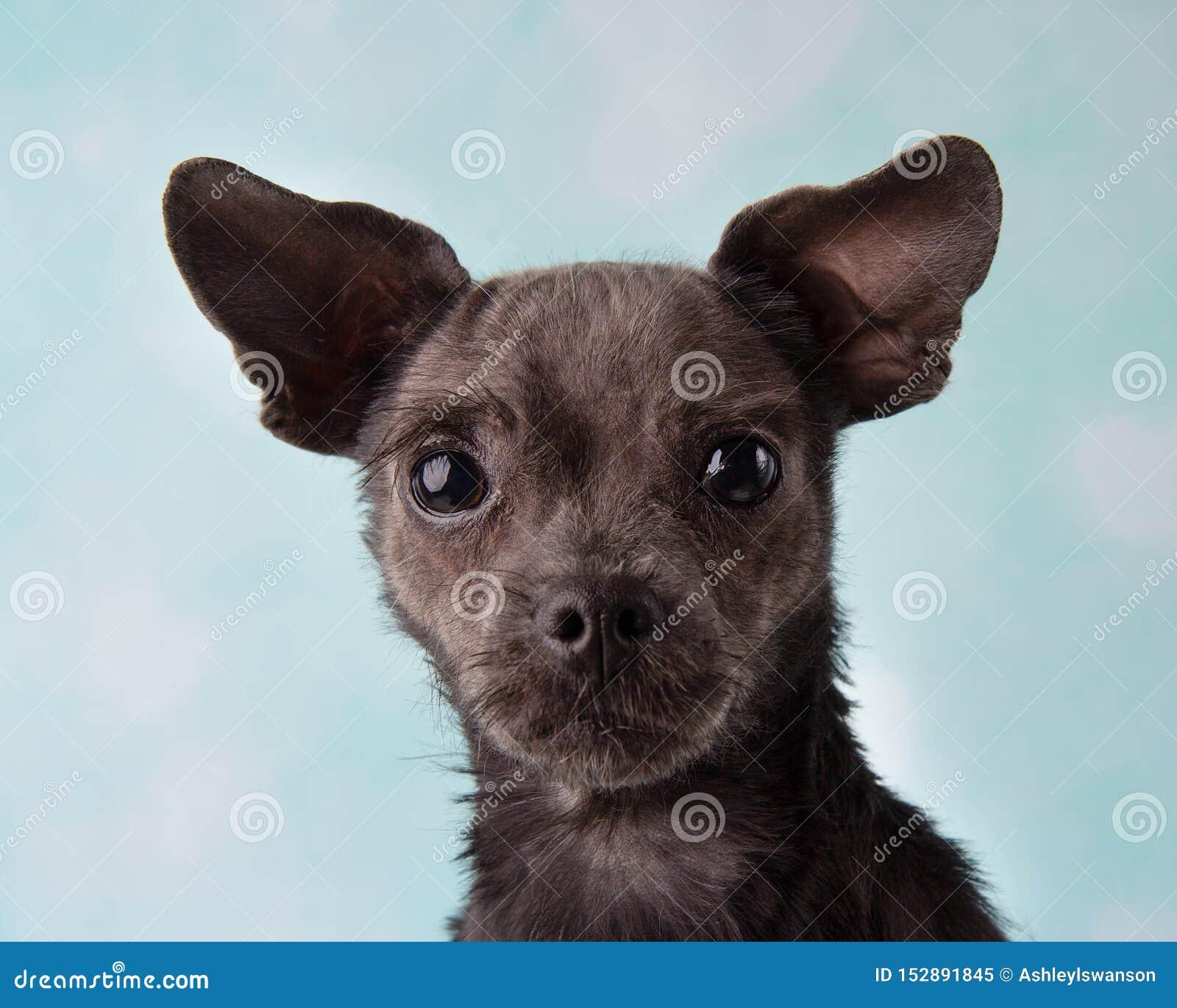 Chihuahua Shih Tzu Mix Portrait no estúdio em uma cara azul e branca do fundo do coração