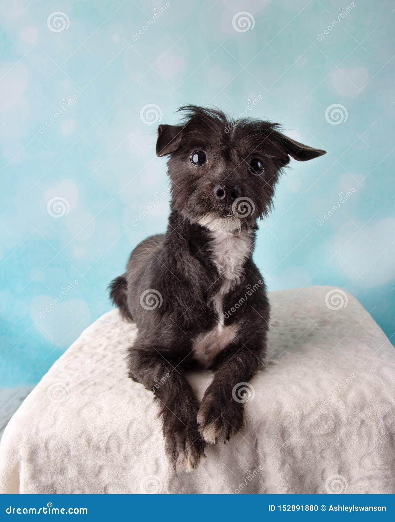 Chihuahua Shih Tzu Mix Portrait in studio su un riposarsi blu e bianco del fondo del cuore