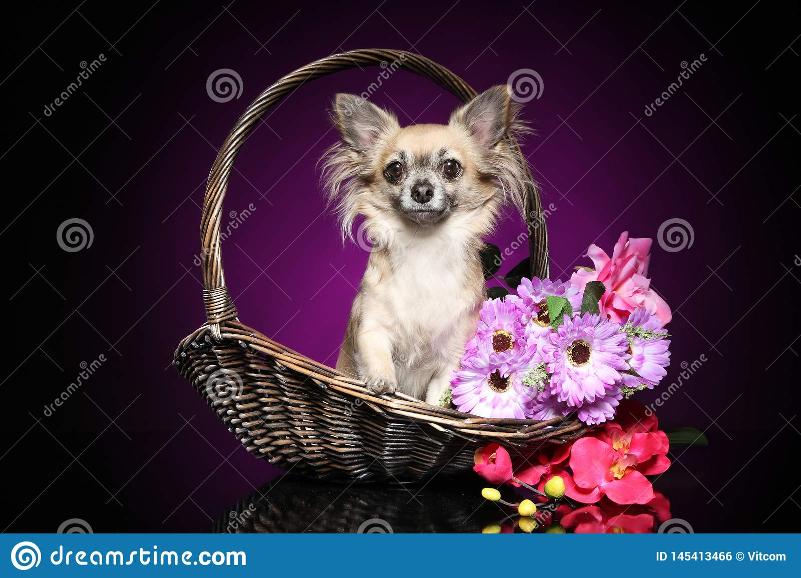 Chihuahua sitting in a wicker basket