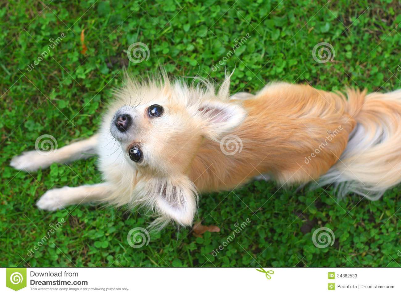 Small Longhair Chihuahua Looking Up At The Camera While Lying In