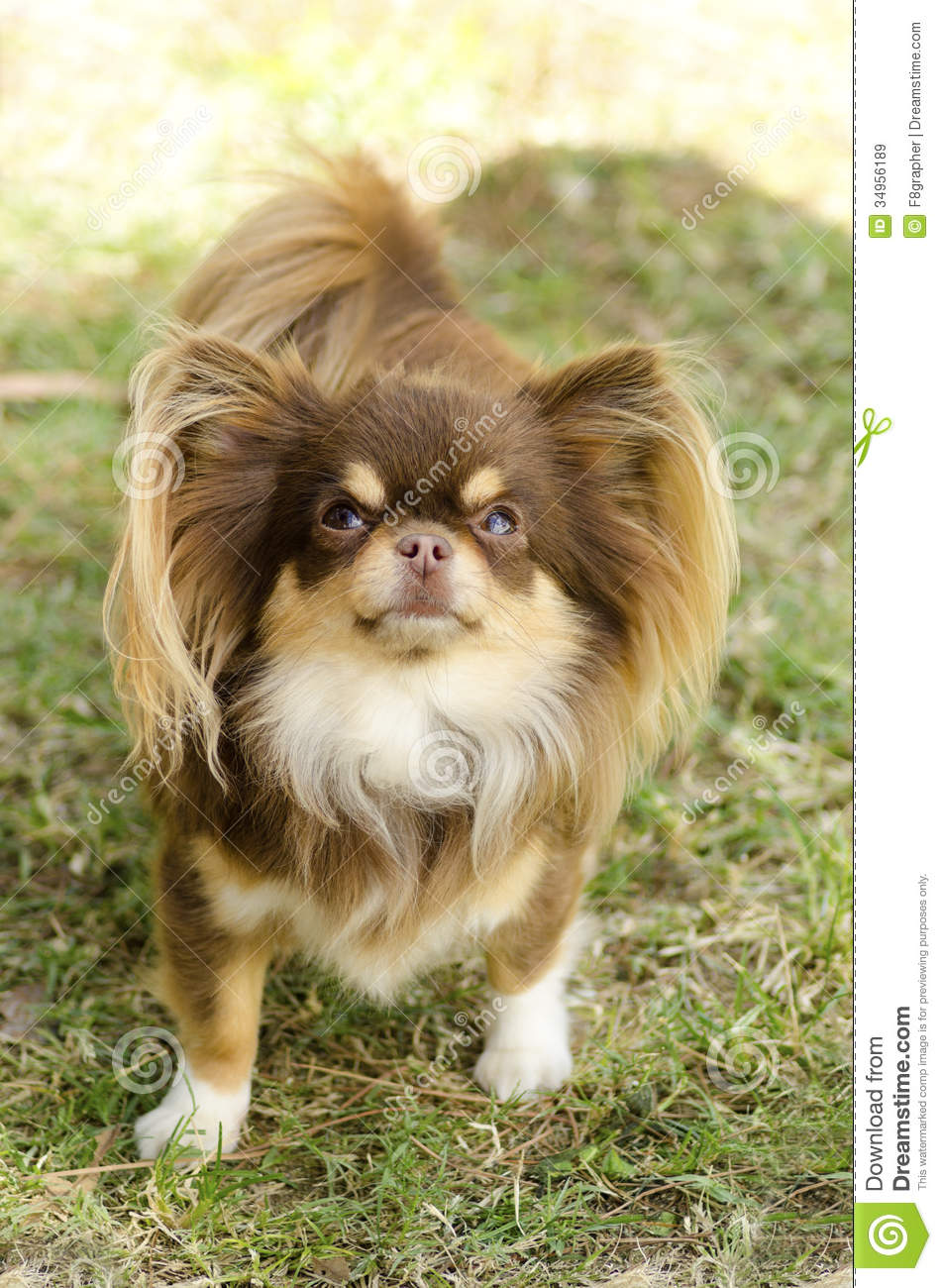 Chihuahua Royalty Free Stock Images - Image: 34956189