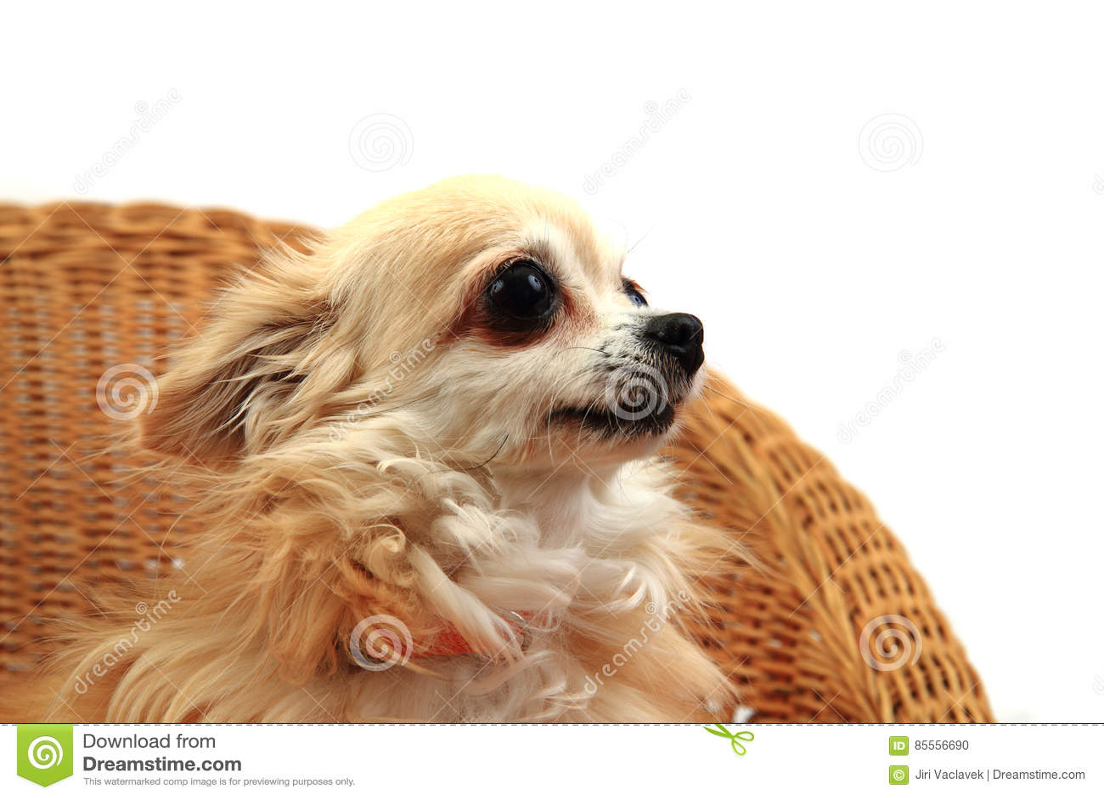 Chihuahua stehen still