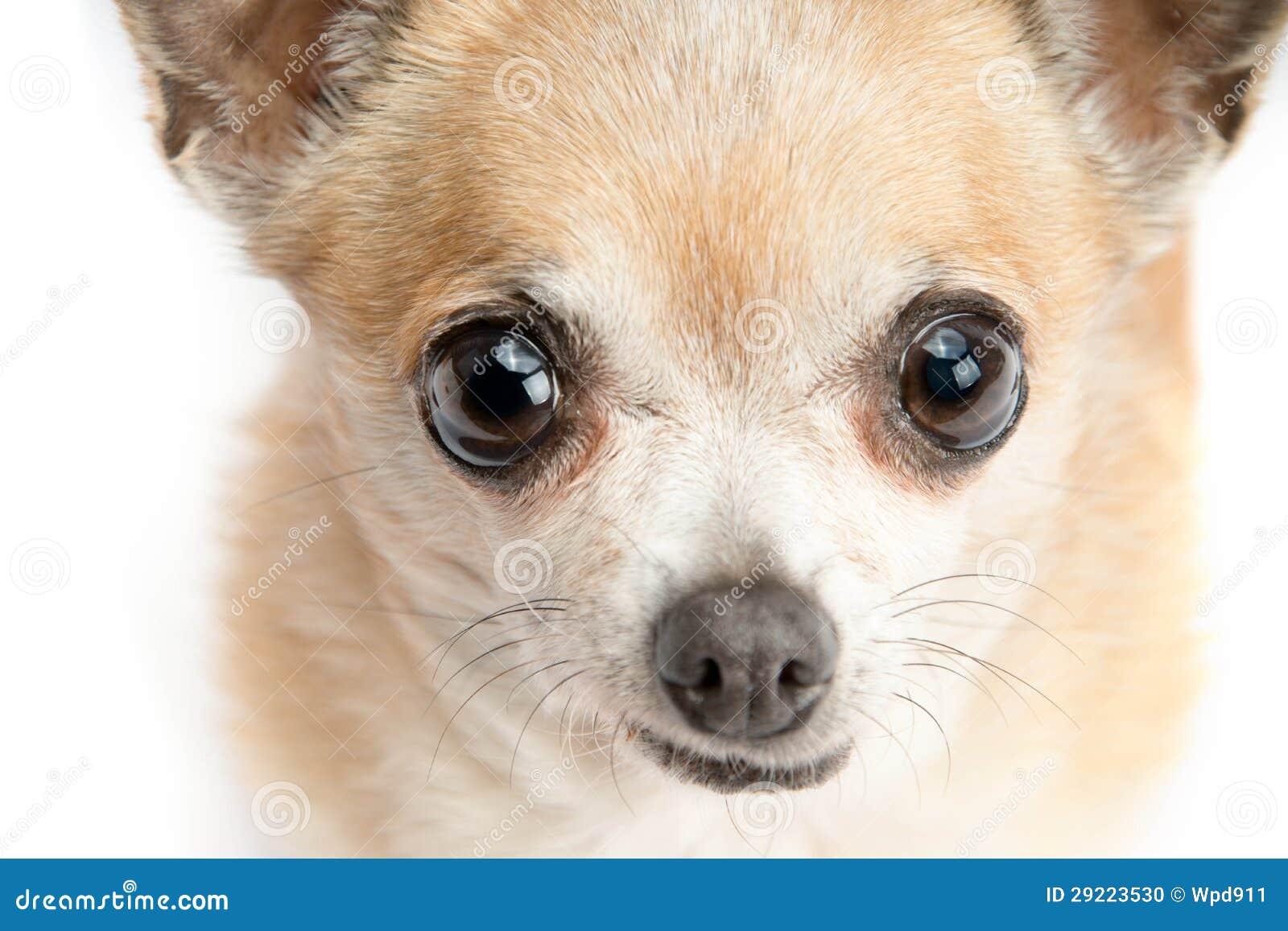 Chihuahua sveglia isolata su fondo bianco