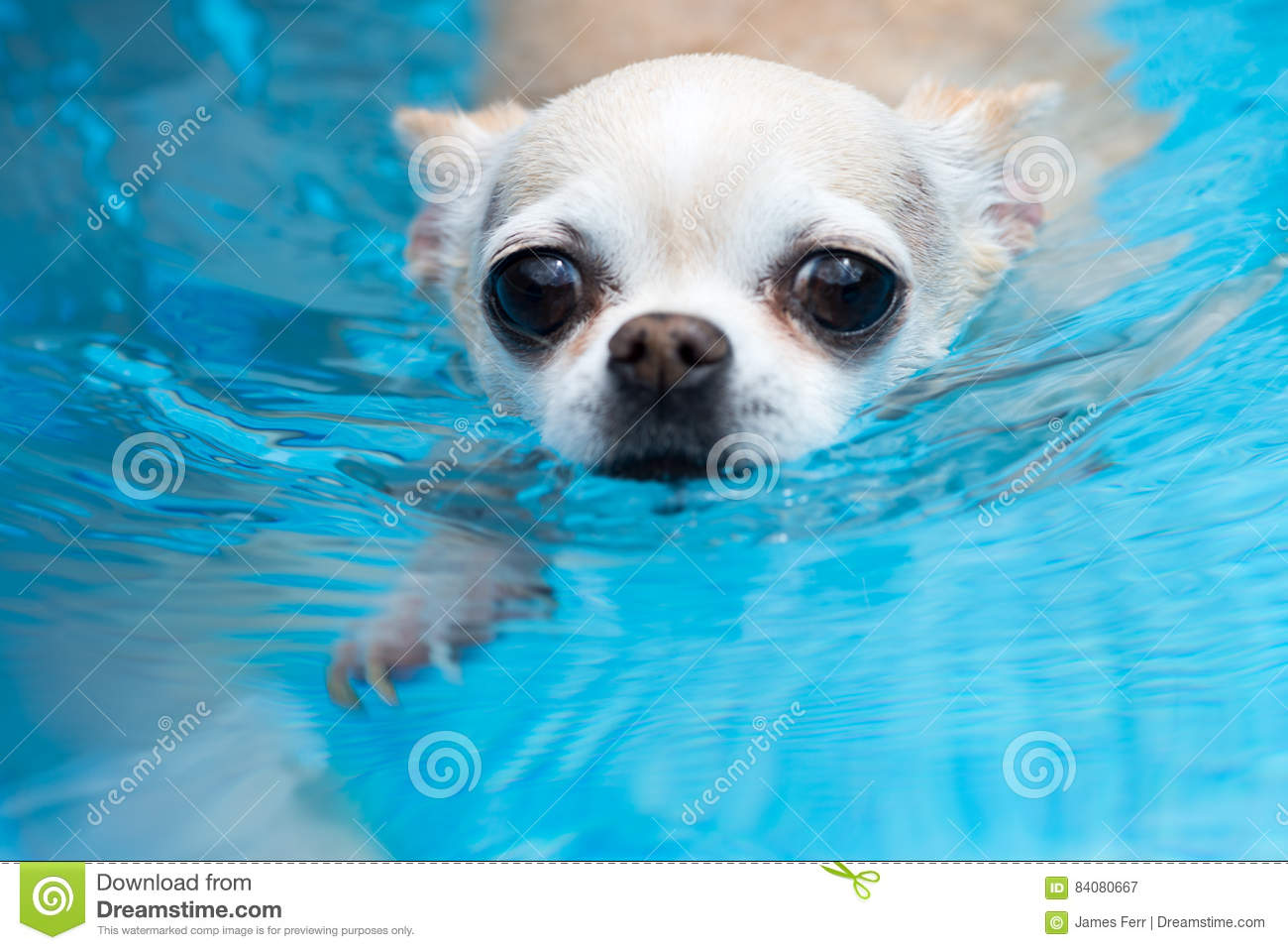 chihuahua swimming looking concerned stock image image. Black Bedroom Furniture Sets. Home Design Ideas