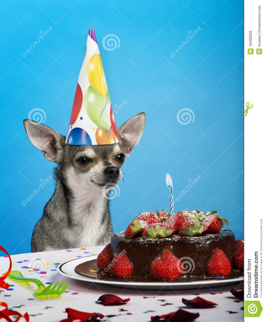Chihuahua At Table Wearing Birthday Hat Royalty Free Stock