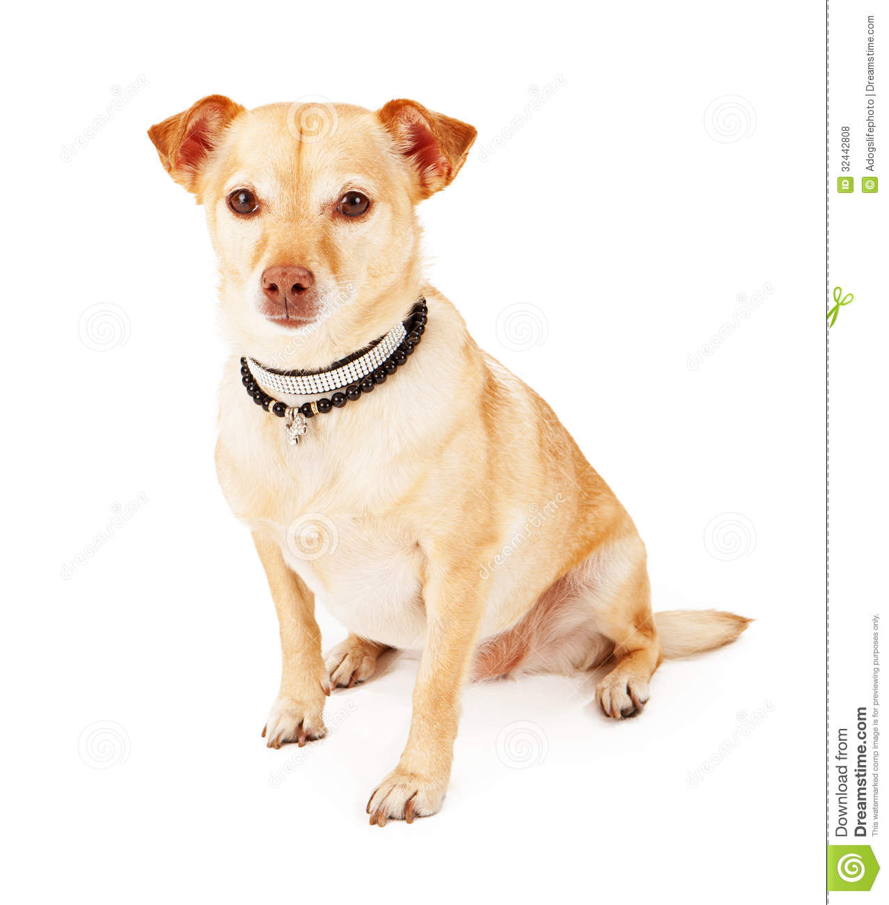 Displaying 16> Images For - Chiwawa Terrier Mix Brown...