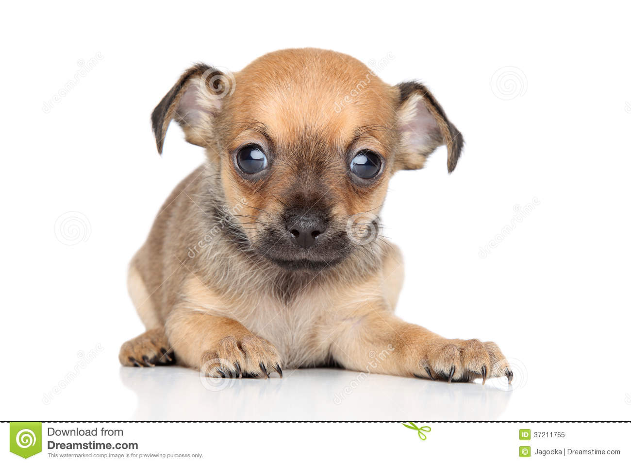 chihuahua mix breeds chihuahua and toy terrier mixed breed puppy royalty free 8043
