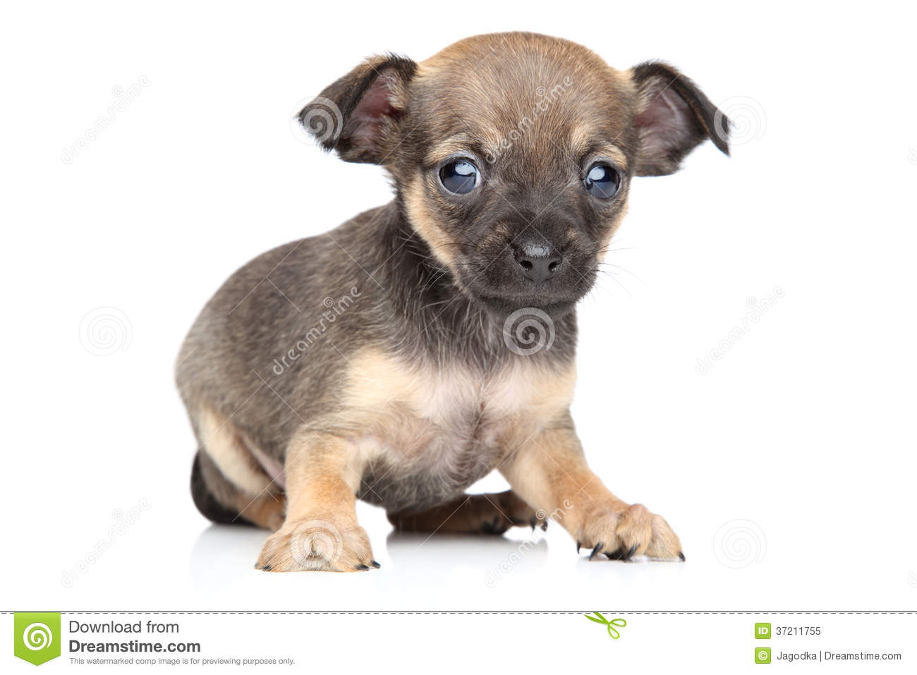 Chihuahua And Toy Terrier Mixed Breed Puppy Stock Image Image Of