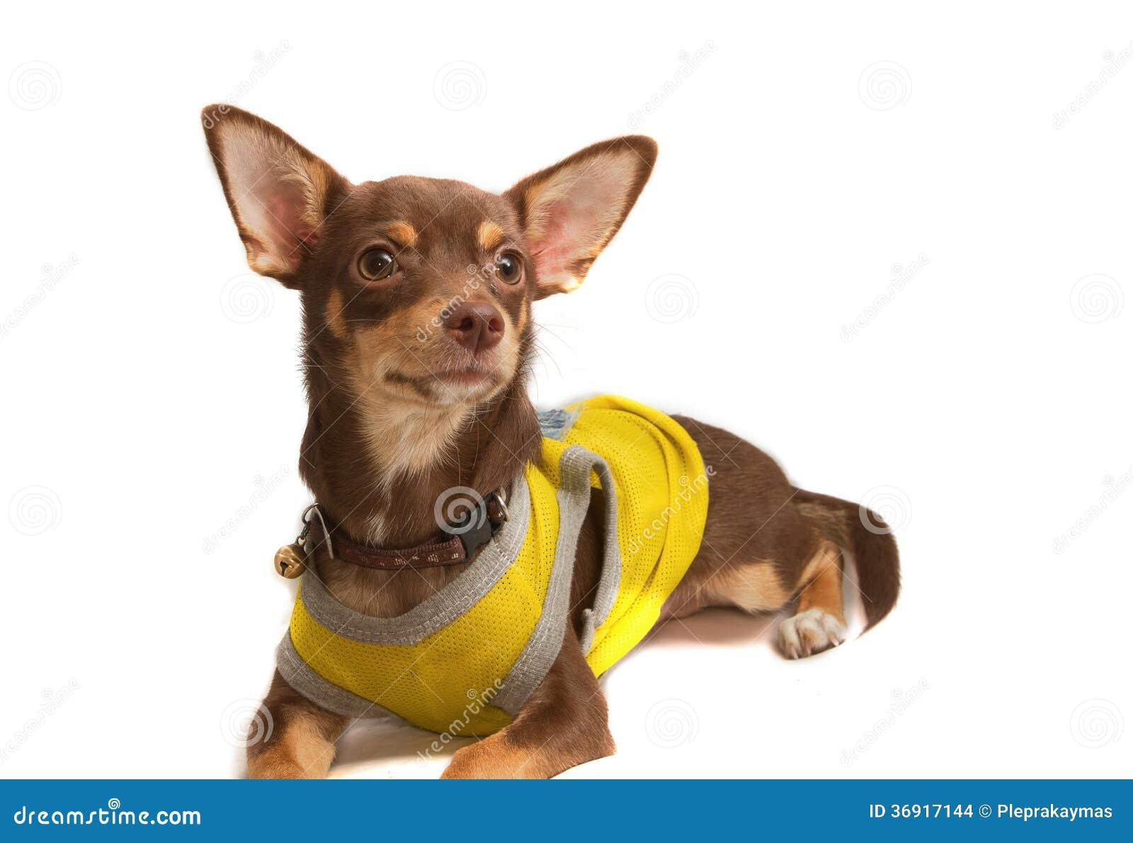 Chihuahua ubierający w górę pszczoły jako