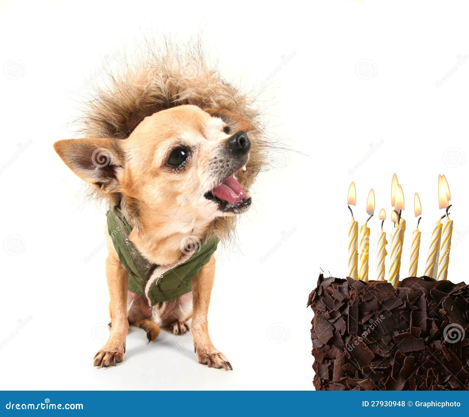 Chihuahua Van De Verjaardag Royalty Vrije Stock Foto S
