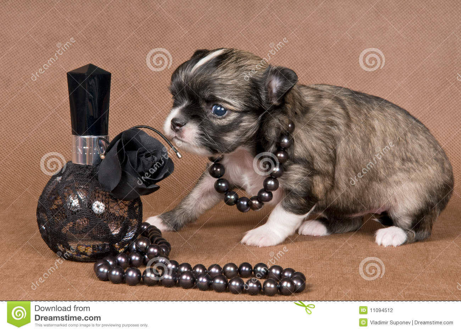 Chihuahua van het puppy met een halsband