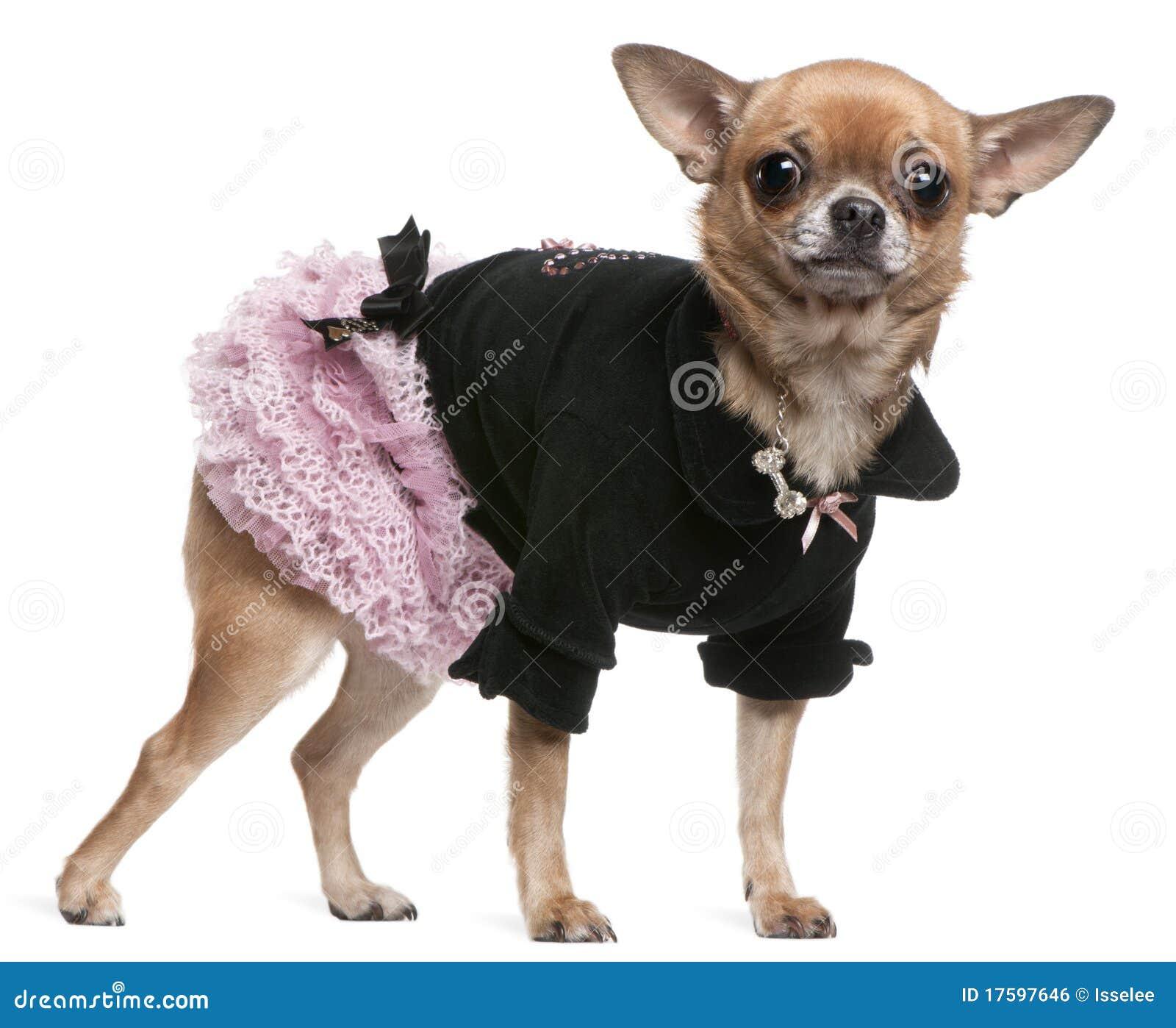 Chihuahua Vestida En Color De Rosa Y Negro Foto De Archivo