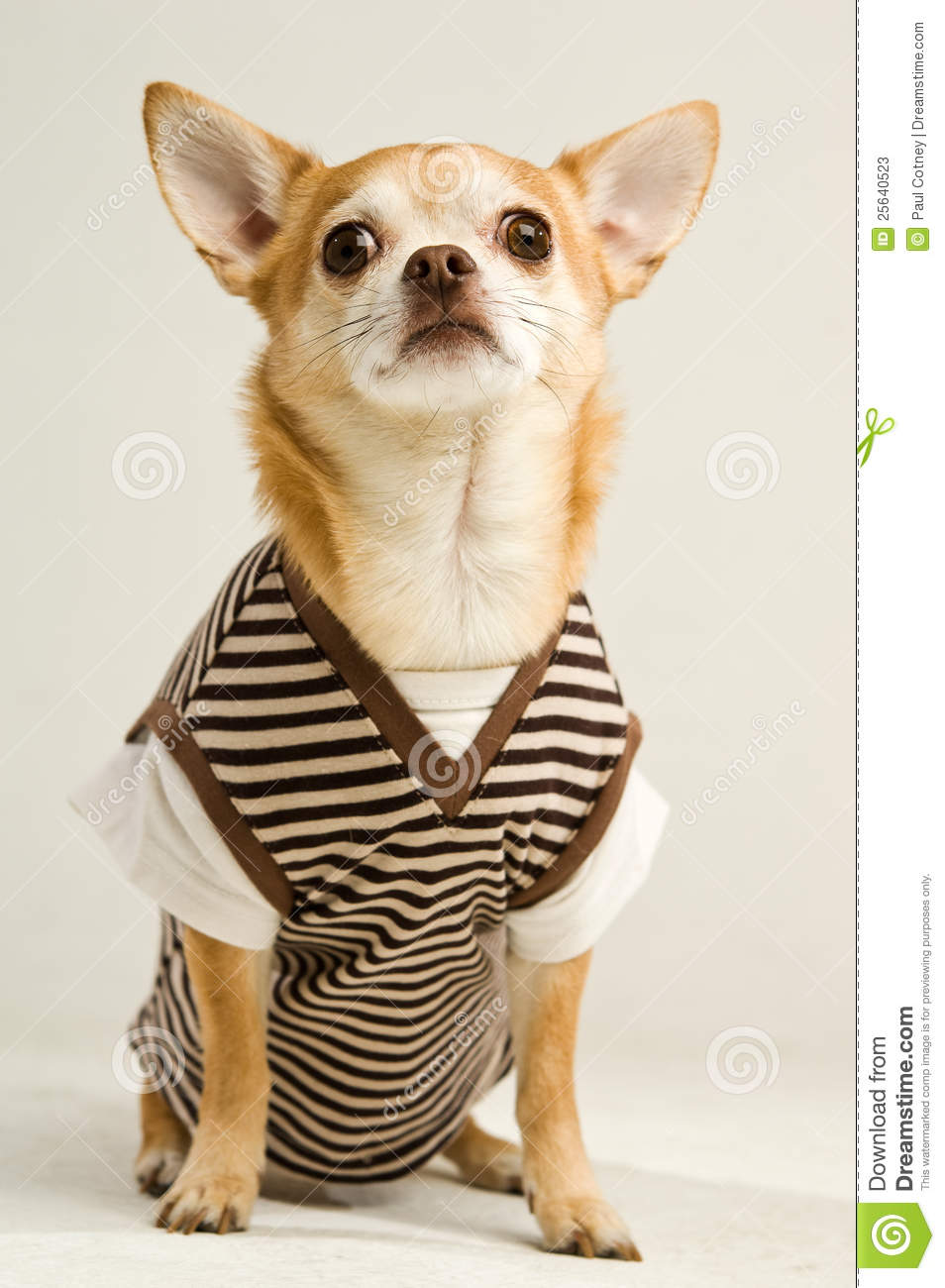 chihuahua wearing a stripey sweater vest stock photos image 25640523. Black Bedroom Furniture Sets. Home Design Ideas