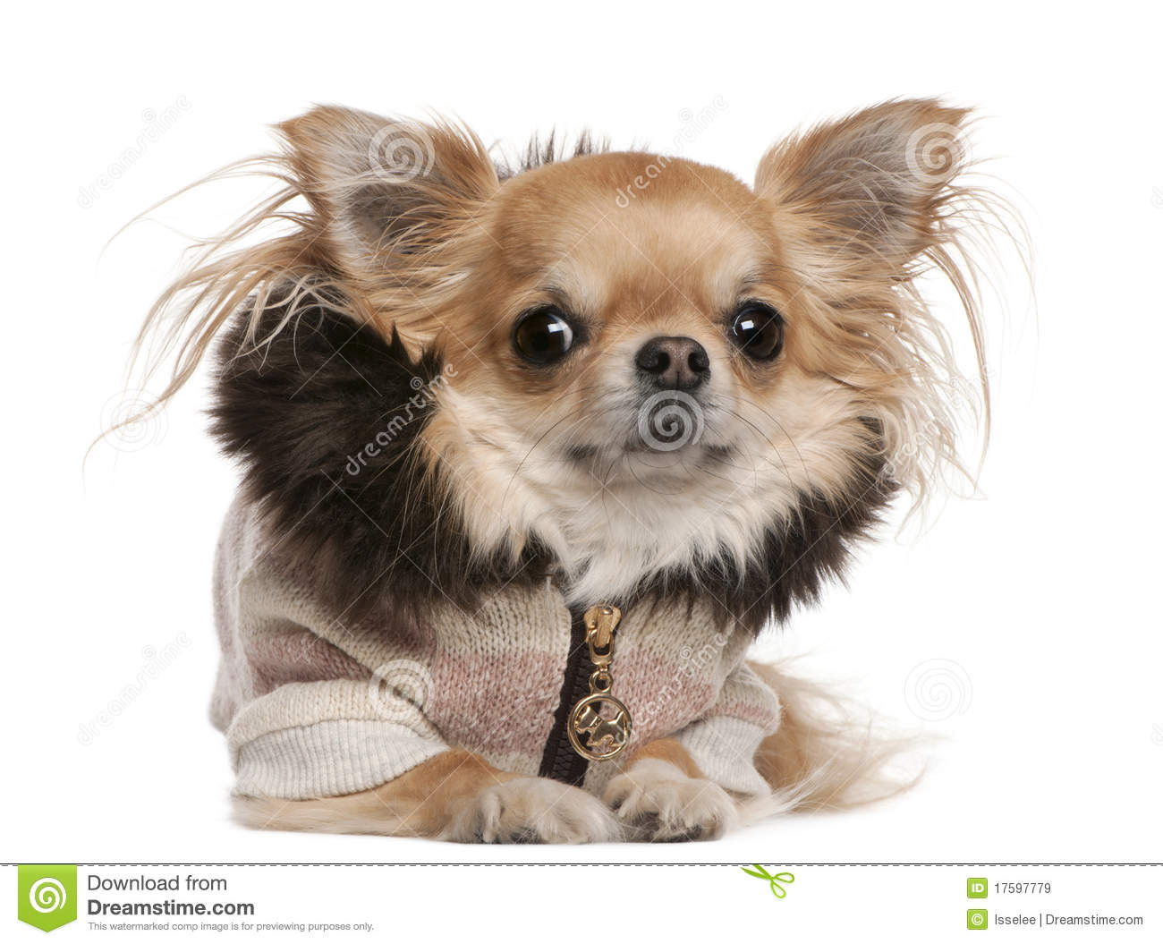 chihuahua wearing sweater 3 years old lying stock image 17597779. Black Bedroom Furniture Sets. Home Design Ideas