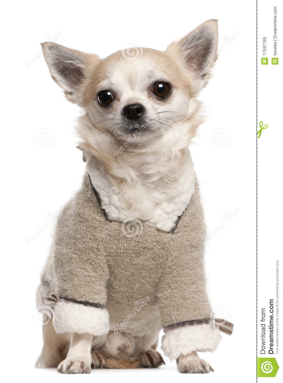 chihuahua wearing sweater 4 years old sitting stock image image 17597785. Black Bedroom Furniture Sets. Home Design Ideas
