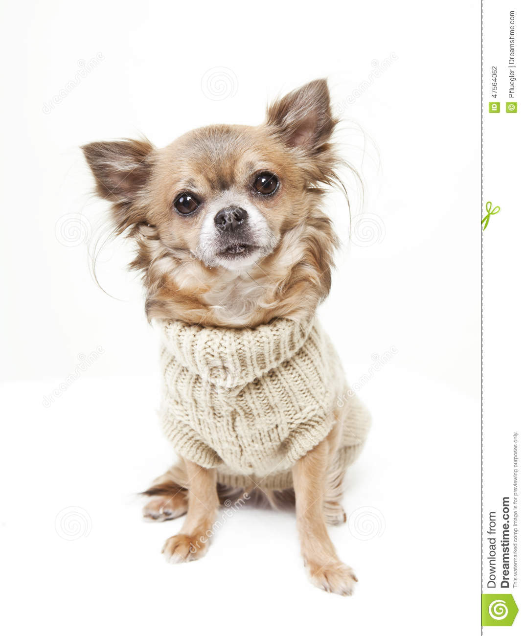 Chihuahua With Wool Sweater Stock Photo Image Of Clothing Looking