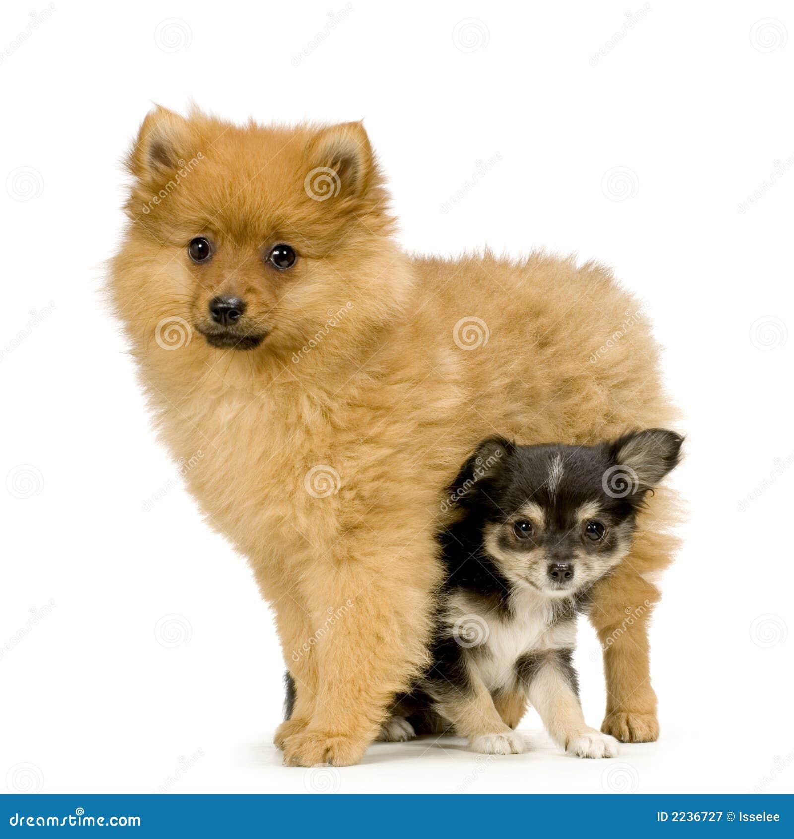 perro chihuahua fondo de - photo #9