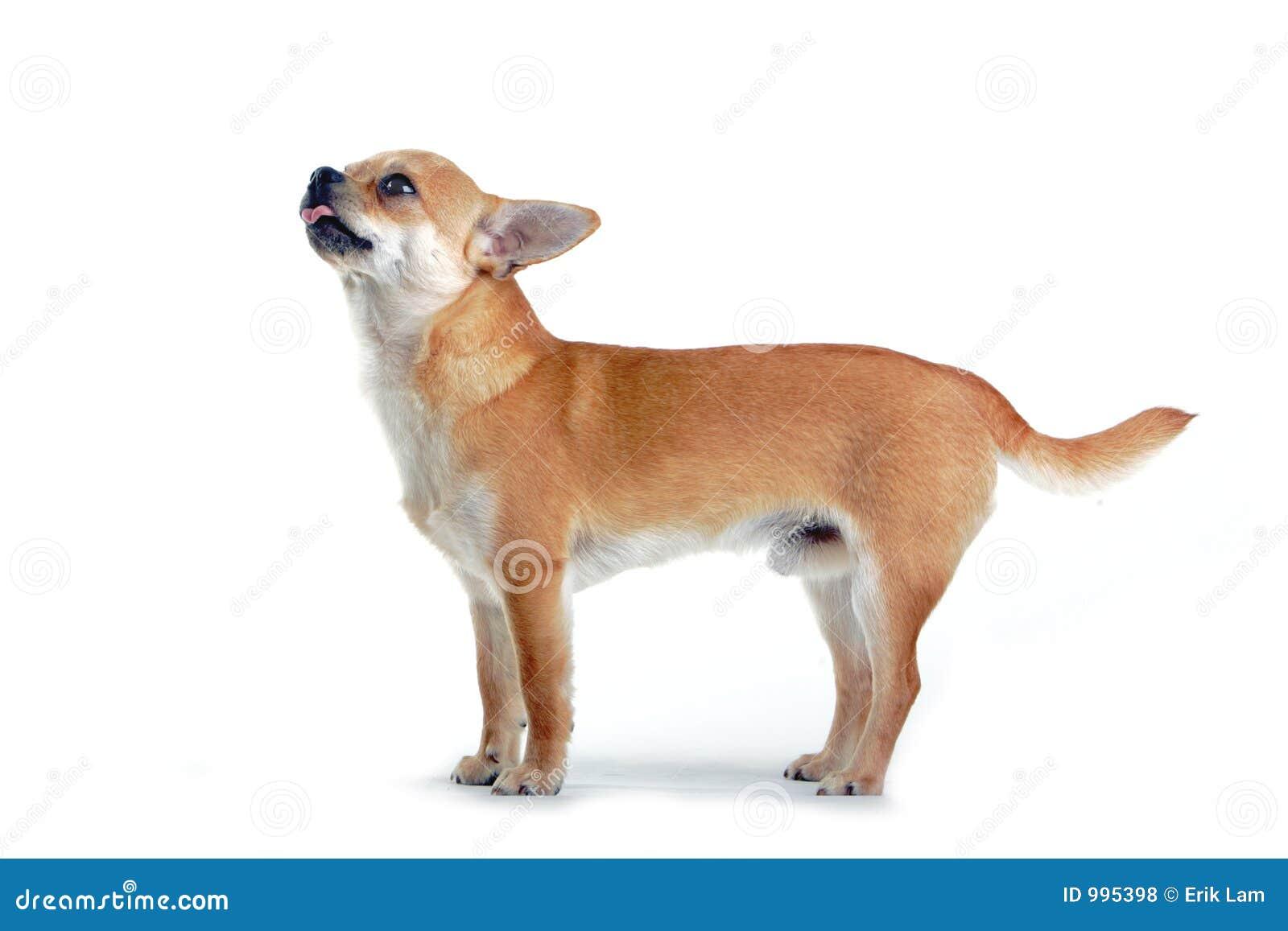 Chihuahuahund