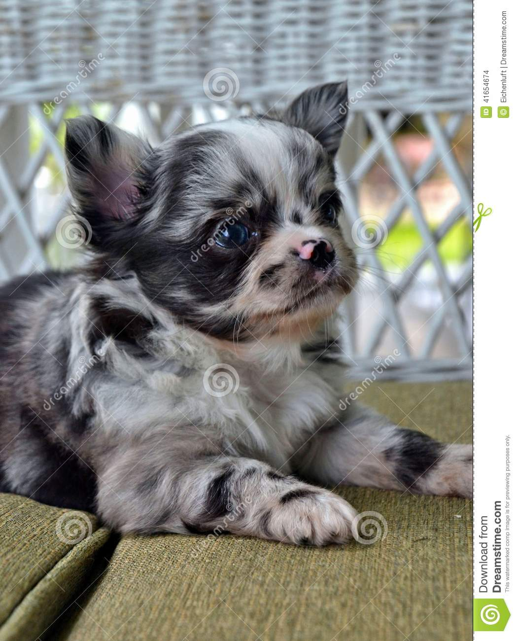 Chihuahuas 23 Stock Photo Image Of Fluffy Cute Laying 41654674