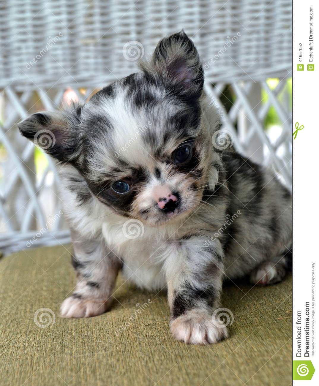 Chihuahuas 26 Stock Photo Image Of Soft Blue Coated 41657052