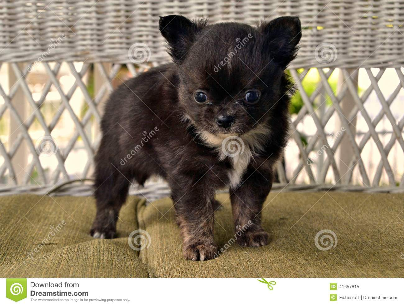Chihuahuas 28 Stock Image Image Of Small Soft Watching