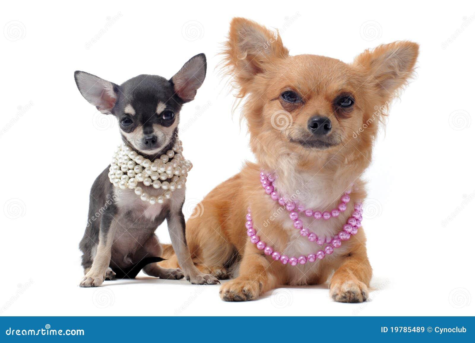 Chihuahuaskragepärla