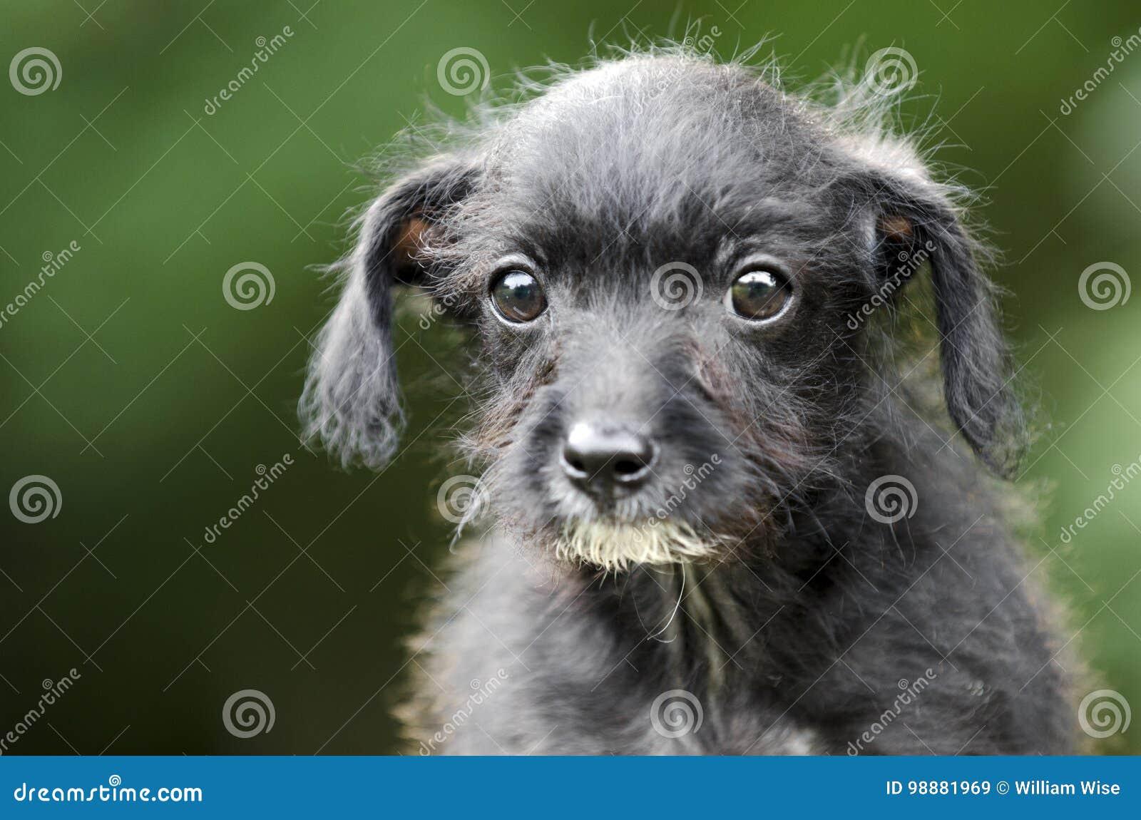 Chihuahuaterrier-Hündchenaugen Des Drahtes Behaarte Stockbild - Bild ...