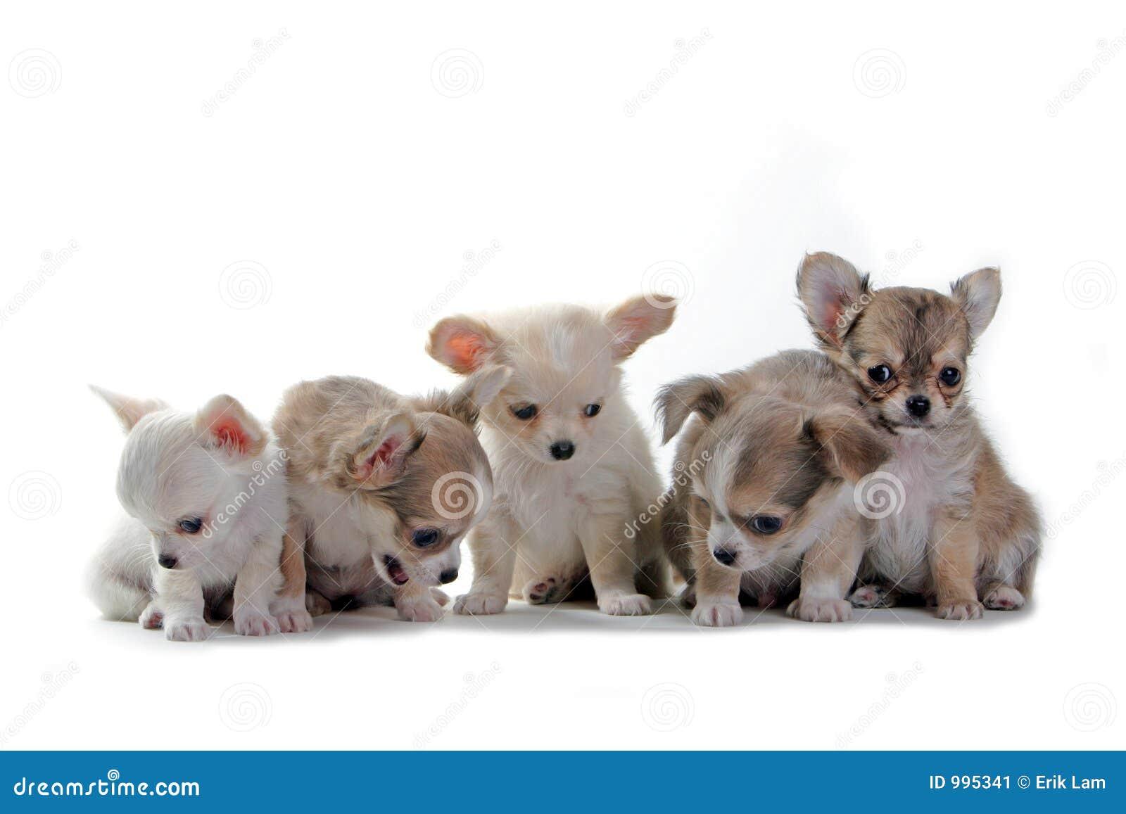 Chihuahuavalpar