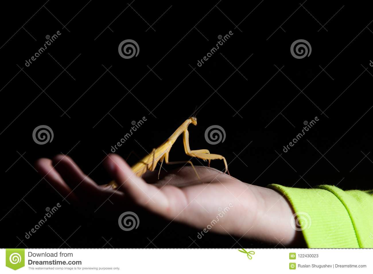 Child hand holding living insect mantis at night dark background copyspace