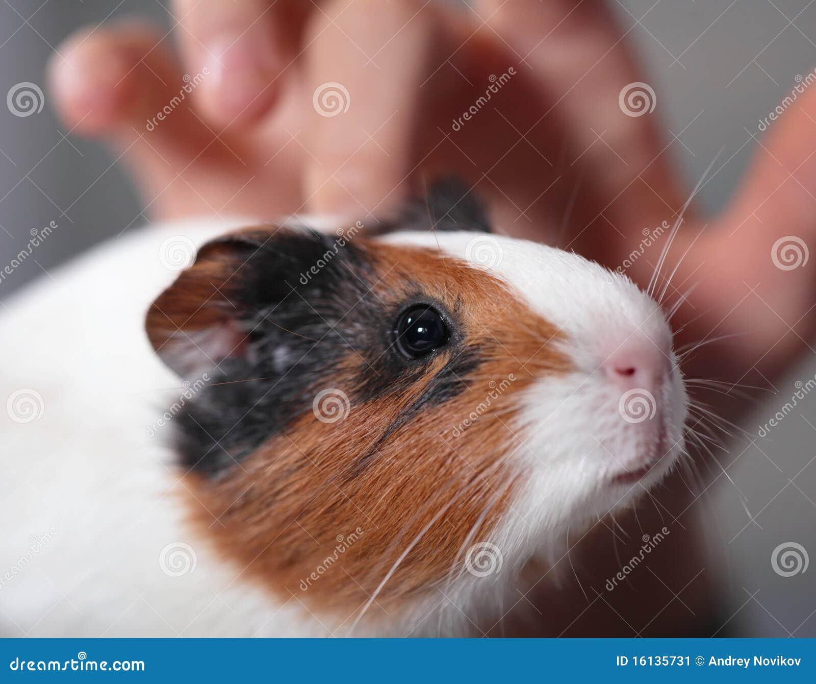 Child pets guinea pig 1