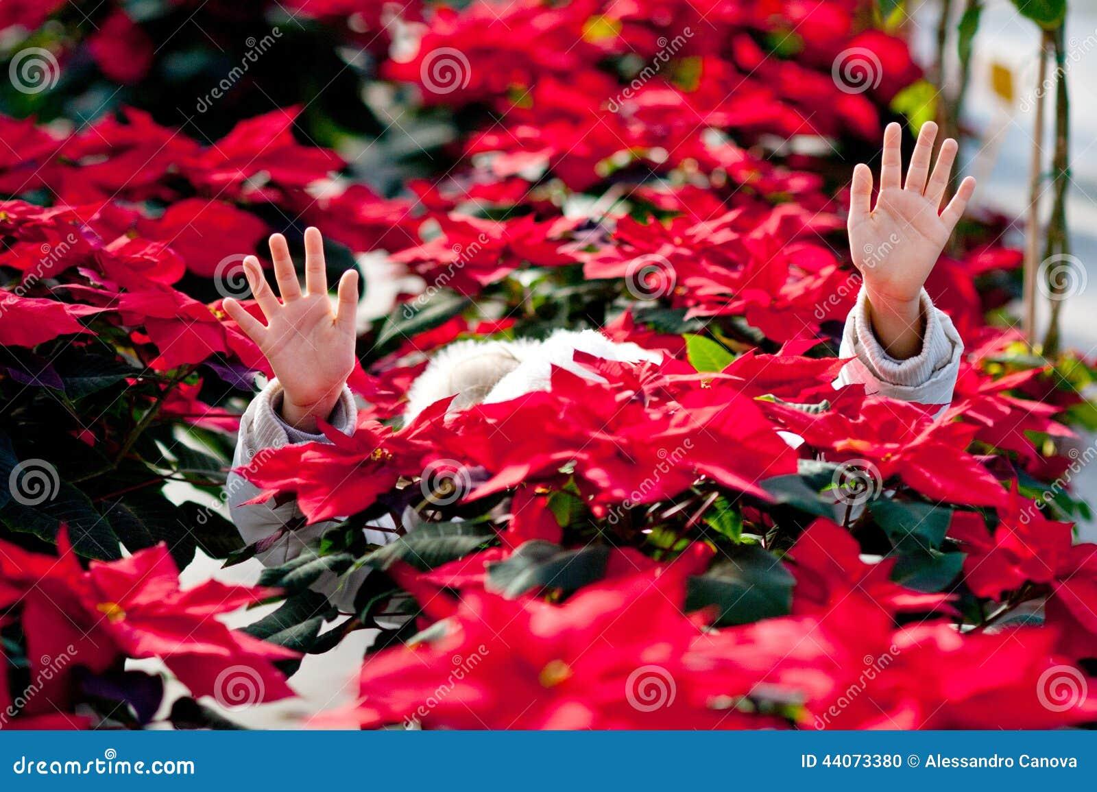 Child with poinsettias stock photo. Image of horizontal ...