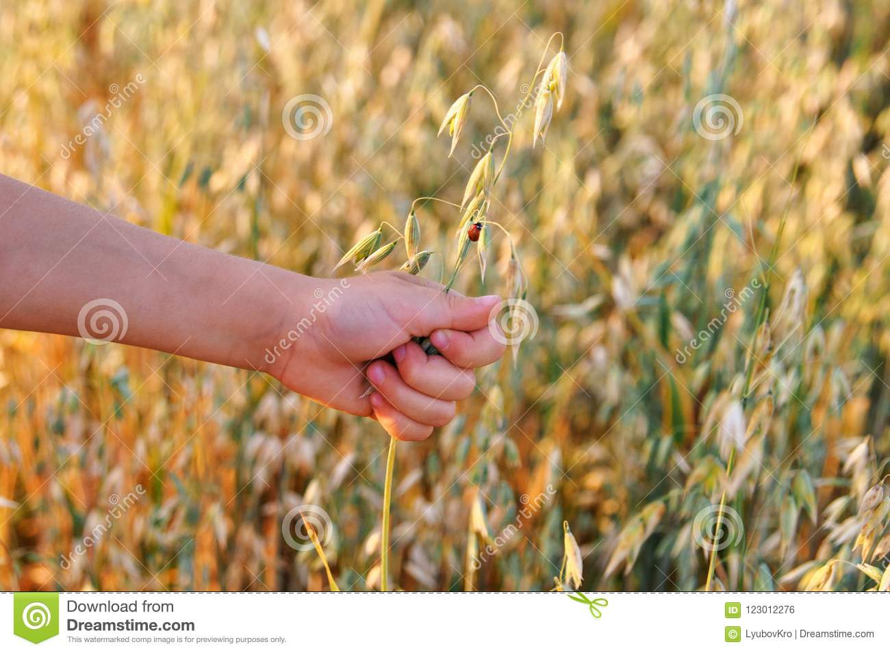 The child`s hand holds the ear of oats with a ladybug at sunset. summer.