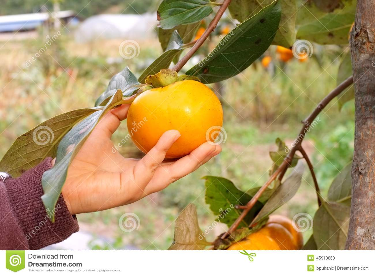 Childs hand picking persimmon from a tree
