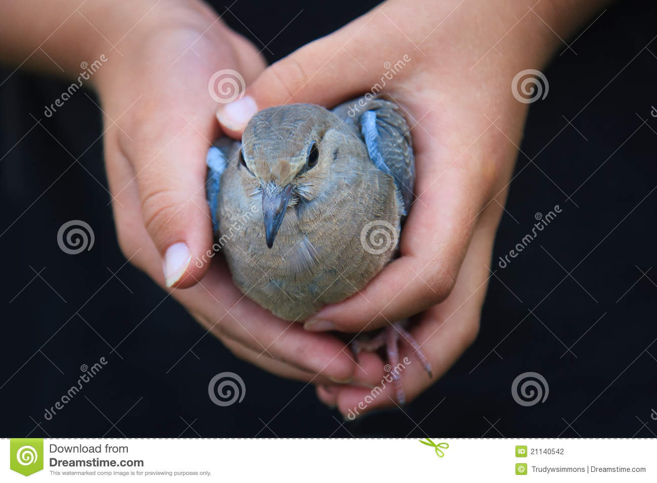 Child s Hands Holding a Bird