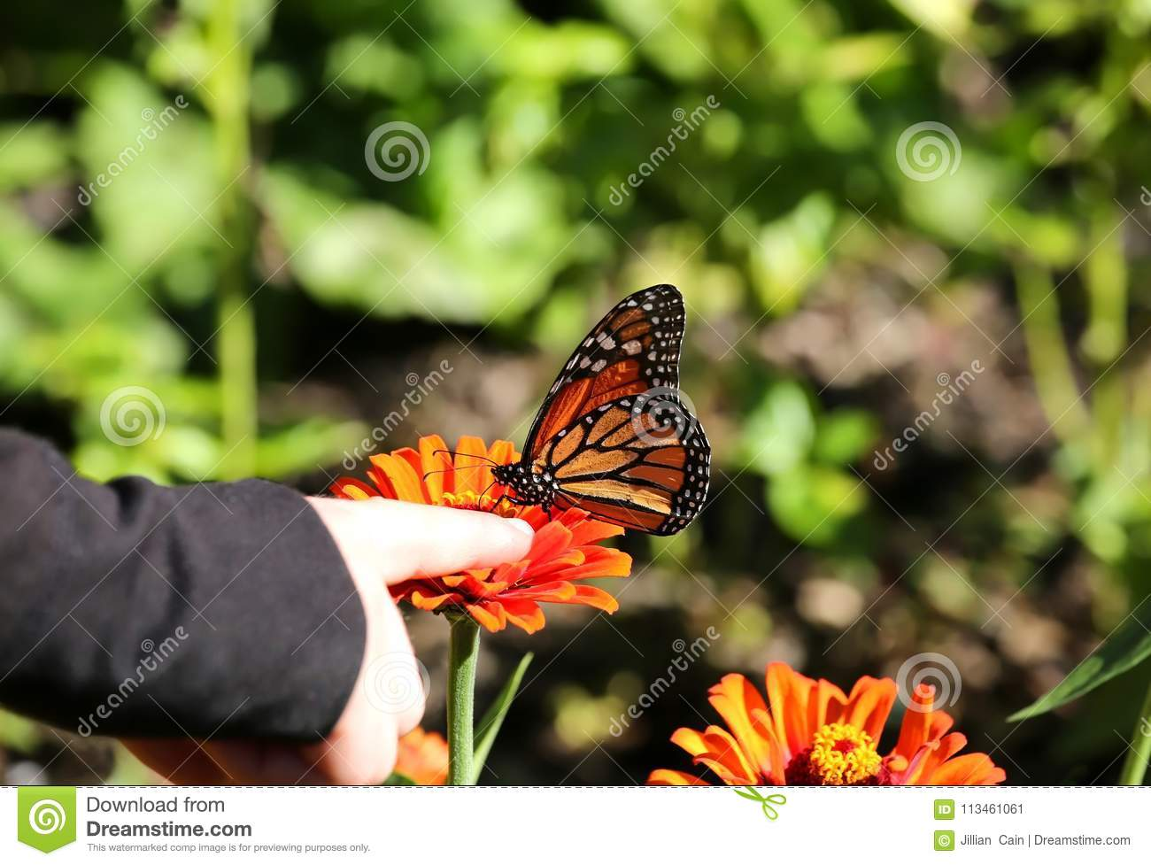 27bd42f43 Child Holds Her Finger Right Next To A Monarch Butterfly Stock Image ...