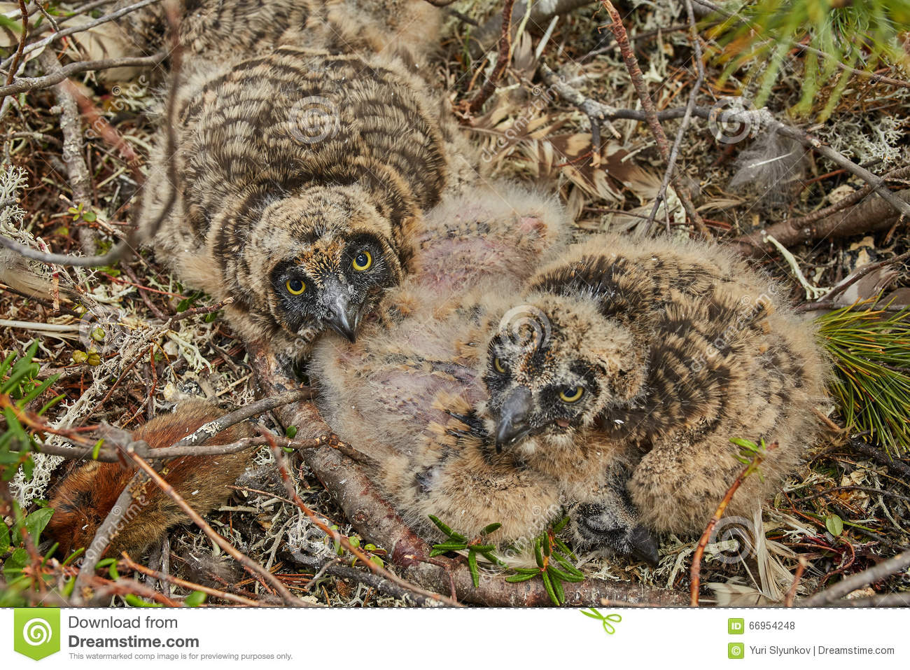 Children of an owl in a nest. Island on Jack Londona s lake. Summer. Kolyma