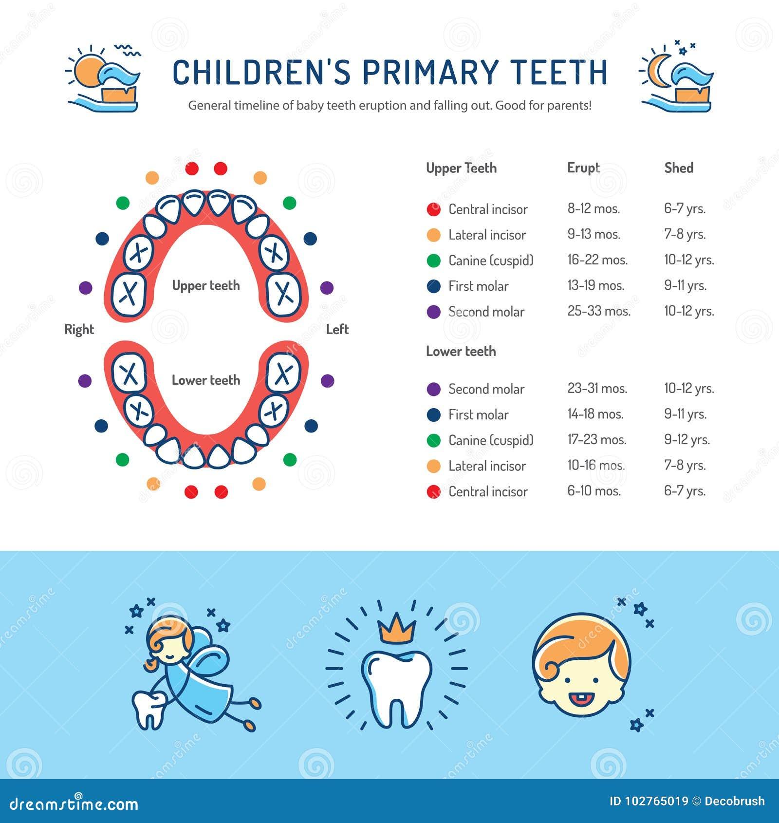 Children Początkowi zęby, rozkład dziecko zębów erupcja Children dentystyki infographics