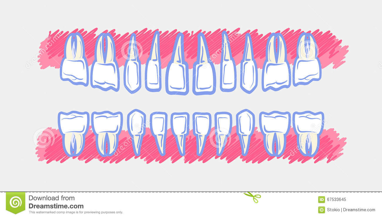 children teeth anatomy  panoramic dental scan teeth child's  upper and  lower jaws of baby's skull