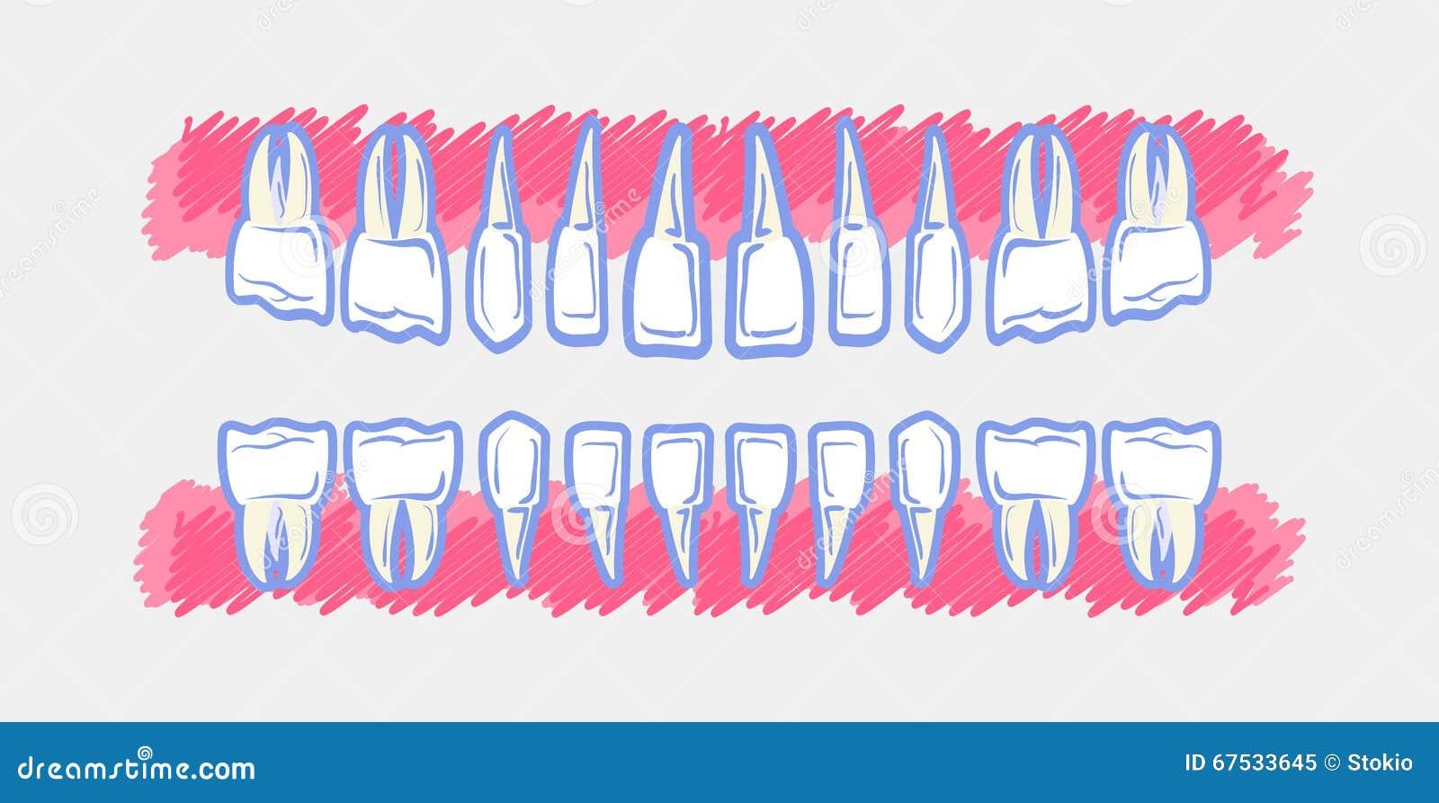 Children Teeth anatomy stock vector. Illustration of diagram - 67533645