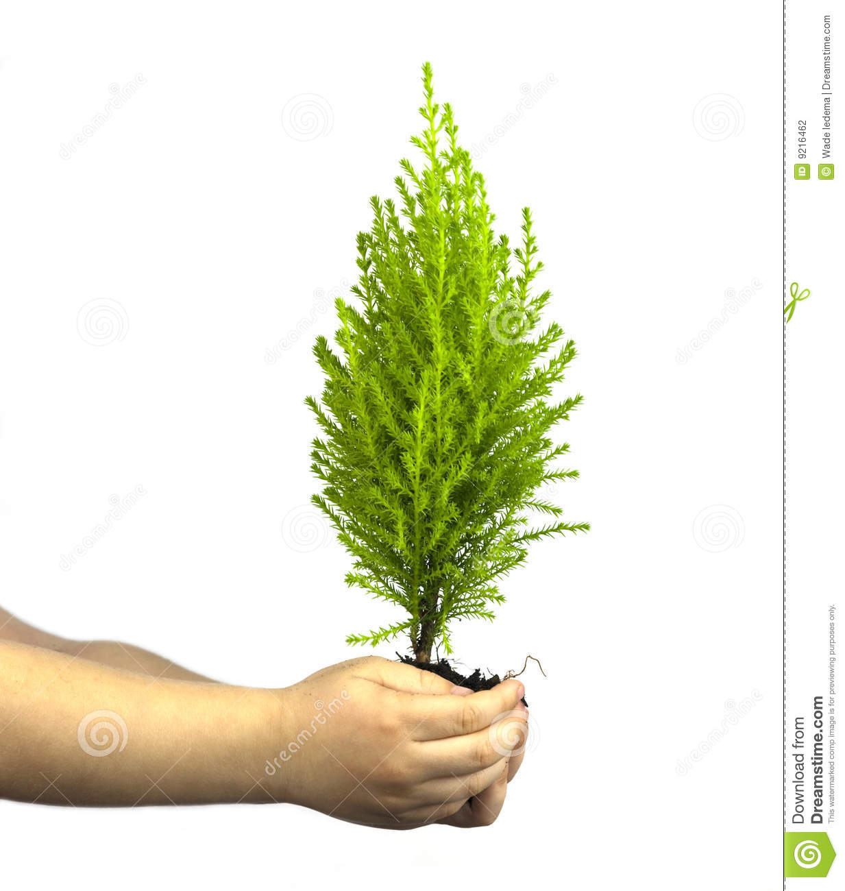 Childs hands holding cypress pine tree sapling stock photo for Tree sapling