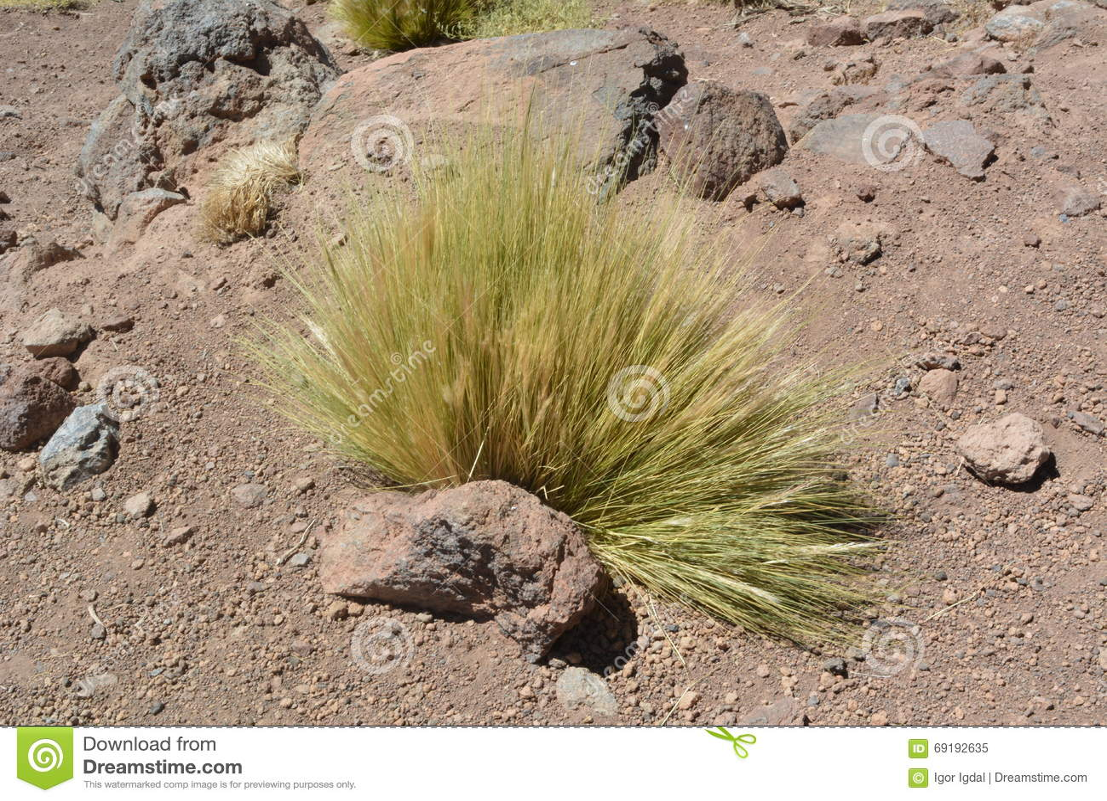 Chile. Desert Plant - Paja Brava Stock Photo - Image: 69192635