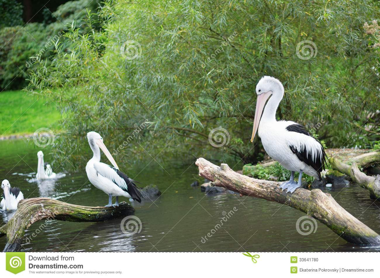 Chile Pelicans In Natural Environment Stock Photo Image 33641780