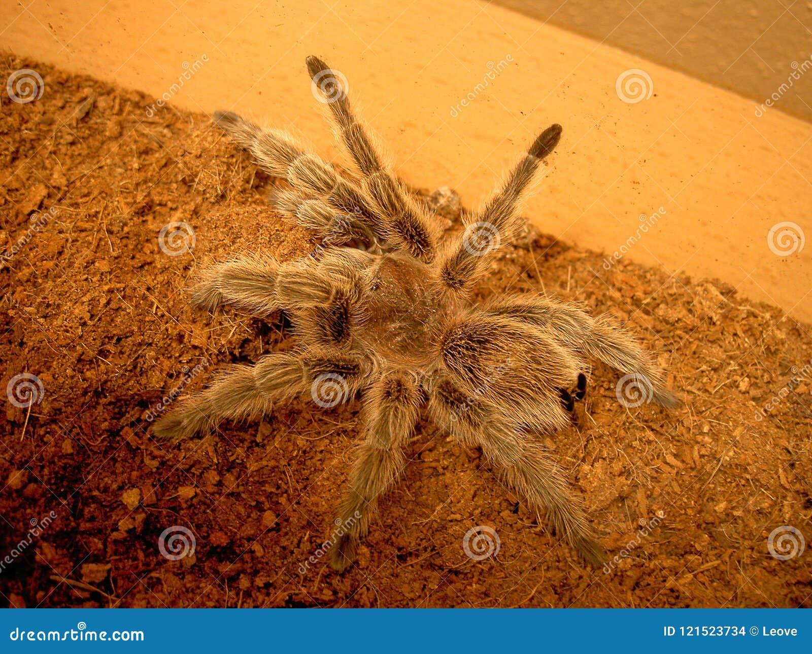 Chileense de spin nam rosea van tarantulagrammostola toe