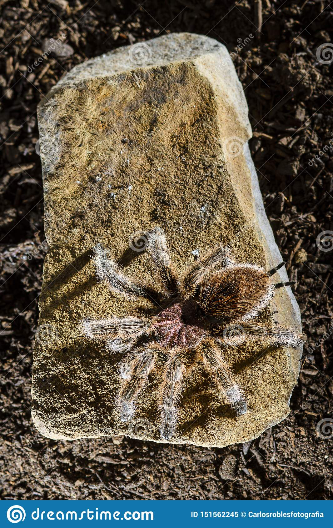 Chileense roze tarantula op een rots donkere achtergrond