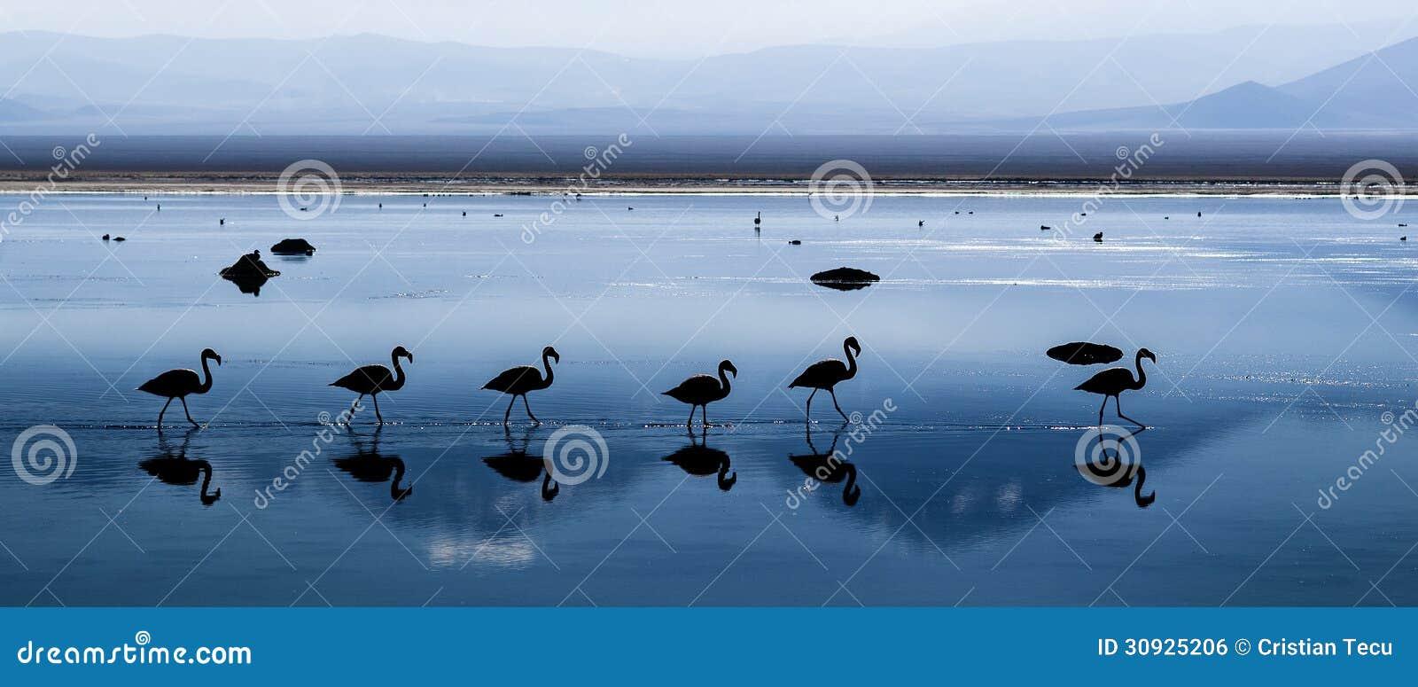 Chilenska flamingo