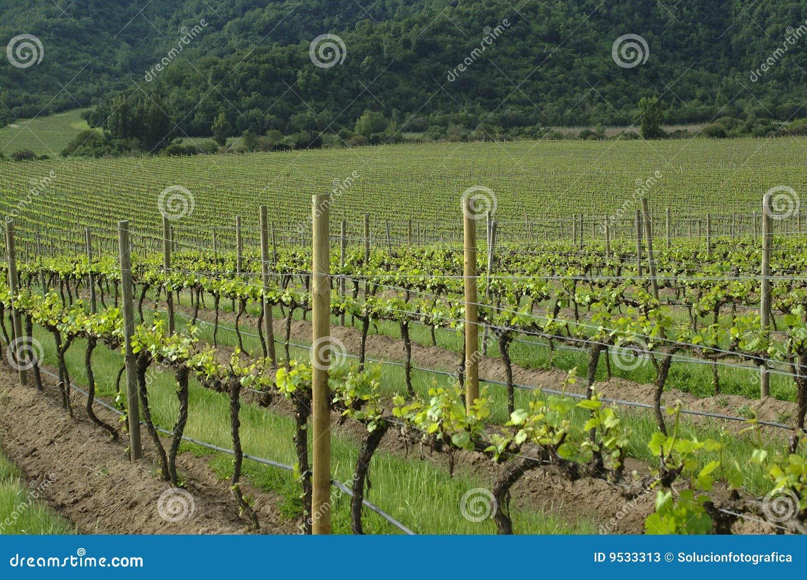 Chilenska vingårdar