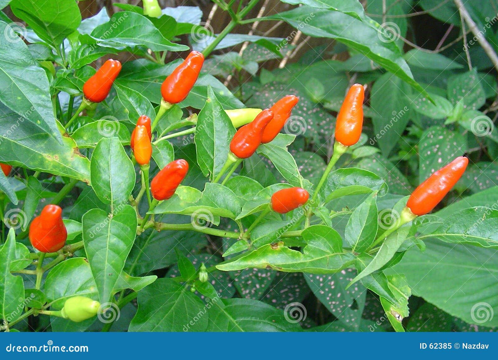 Chili owoców