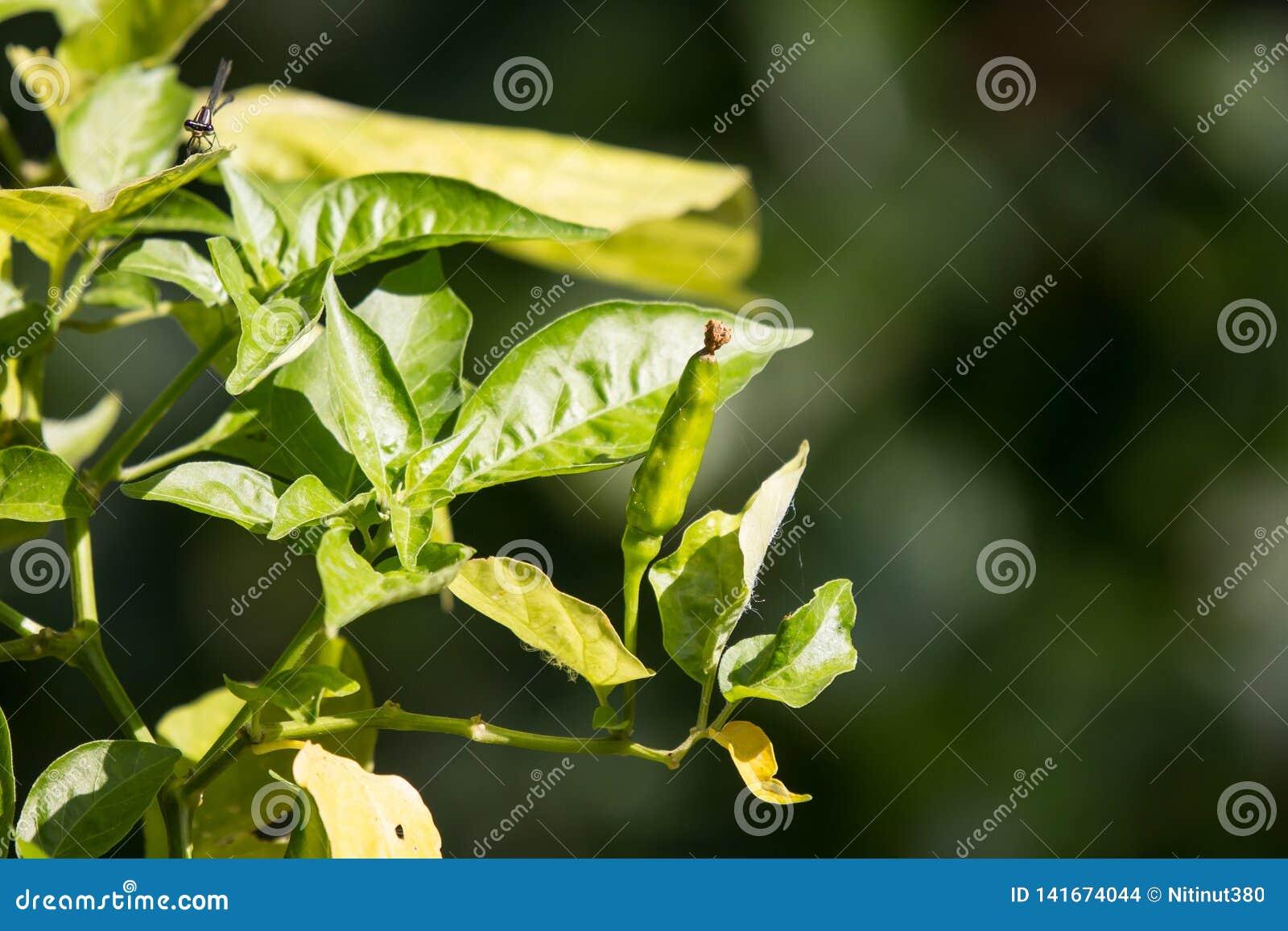 Chili Padi lub Bird&-x27; s oka chili